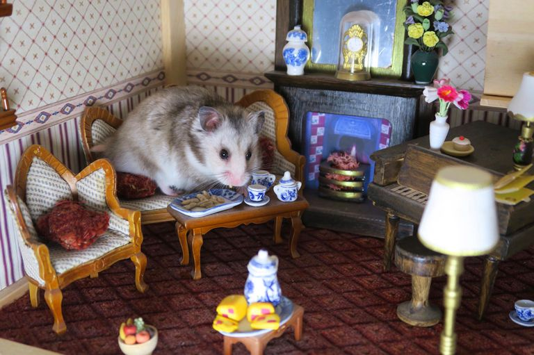 Image of small grey hamster in dolls house room, sitting lounge sofa eating at coffee table, cute silver grey Syrian hamster with wooden miniature dollhouse furniture, Victorian fireplace, grand piano, mouse eats sunflower seeds, toy china plates, cakes
