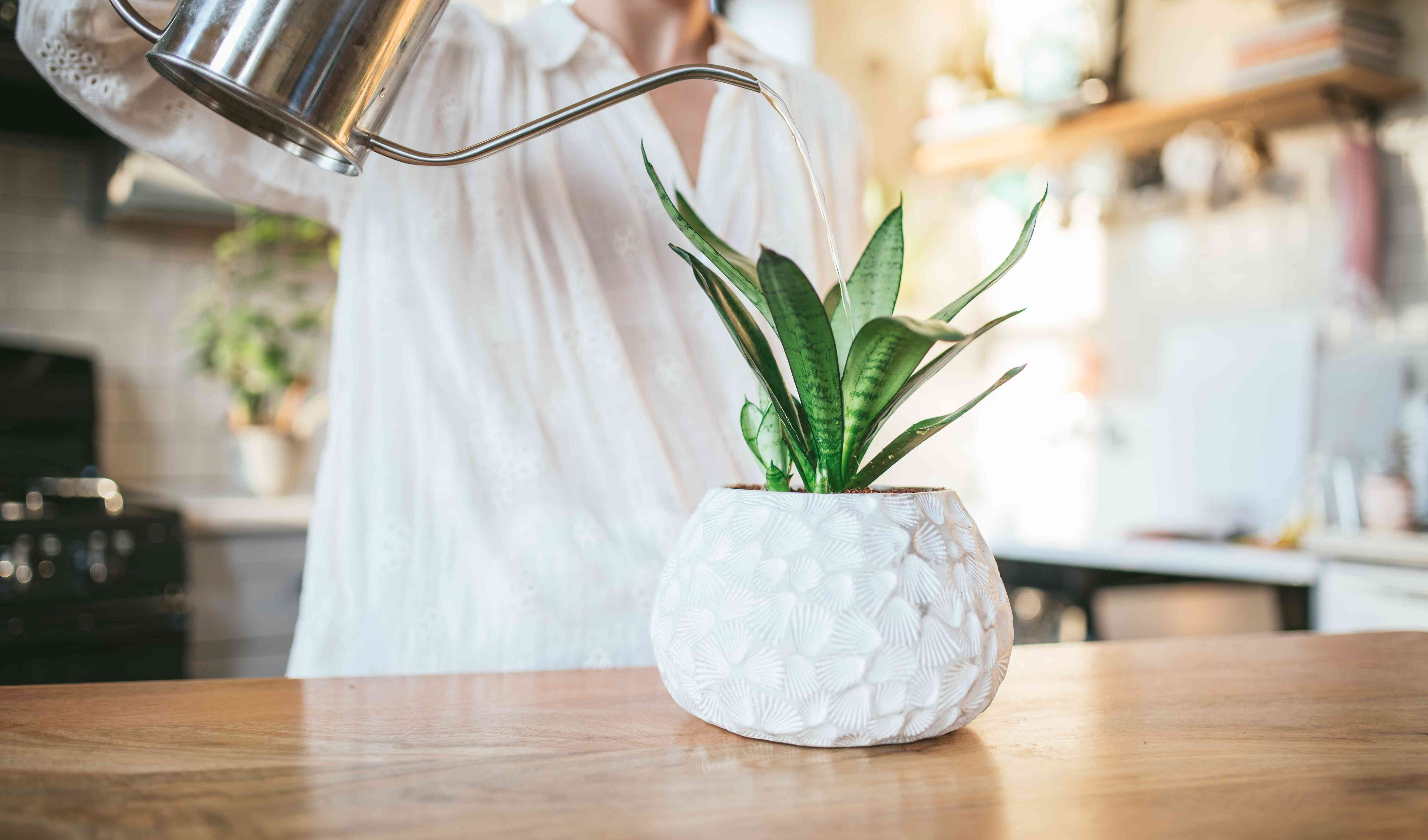 snake plant in squatty white pot gets watered by person with silver modern watering can