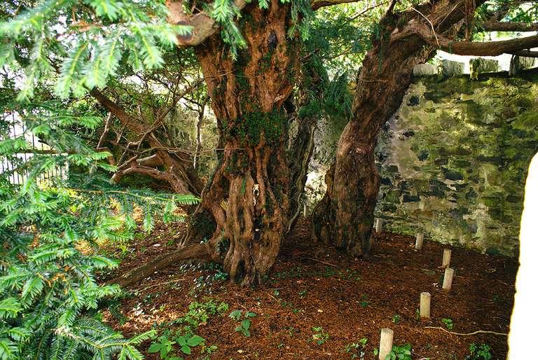 Un árbol de 3.000 años tiene un cambio de sexo