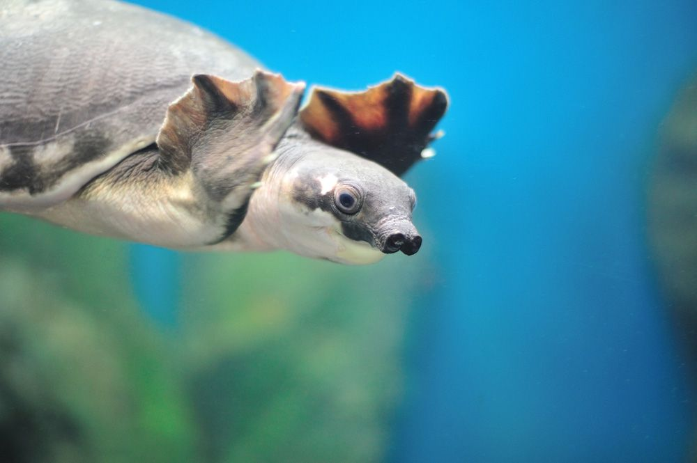 a gray pig-nosed turtle floating in water