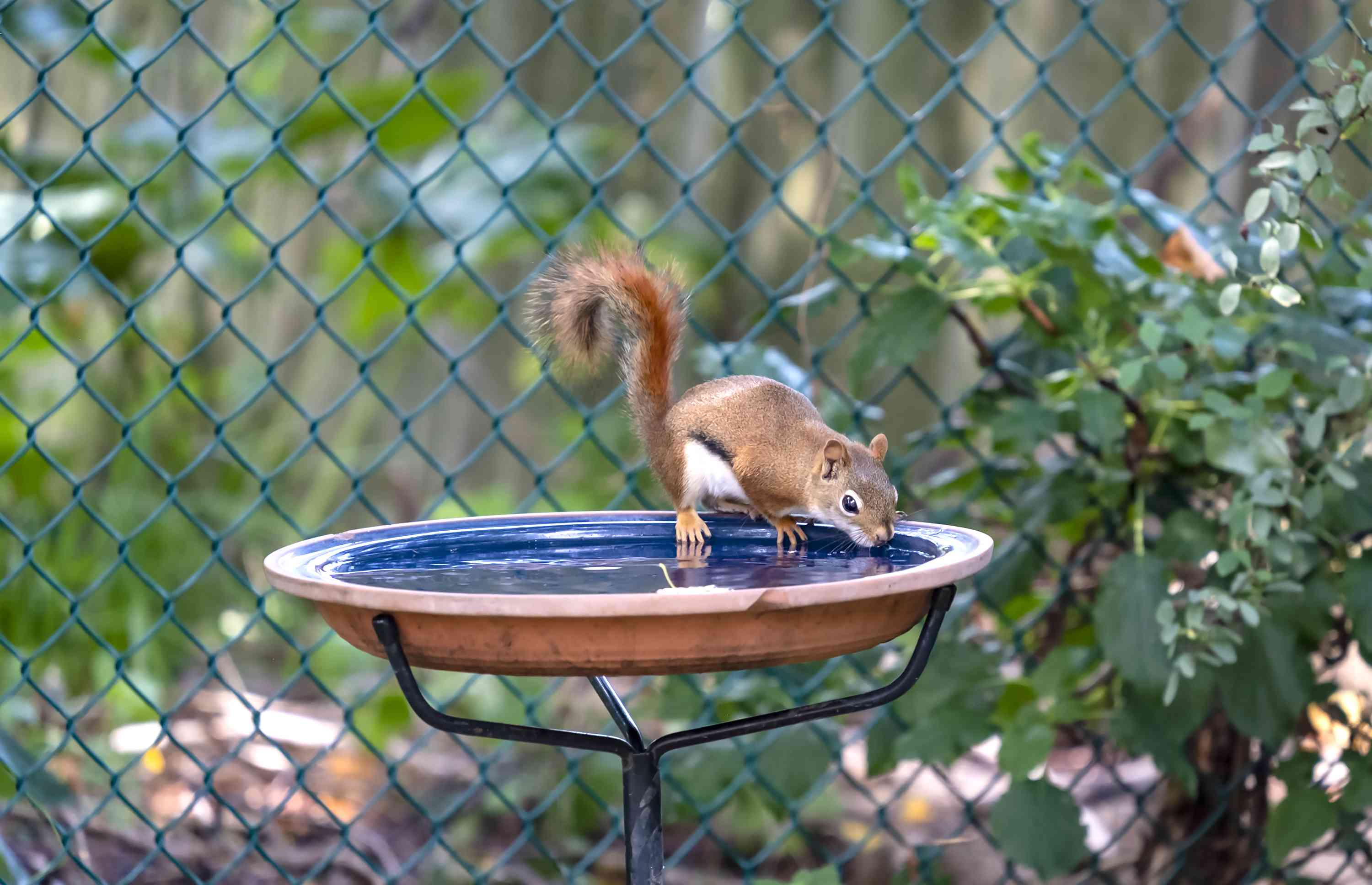 An American Red Squirrel Drinking from a Bird Bath