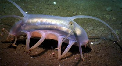 Sea pigs are see-through scavengers at the bottom of the ocean