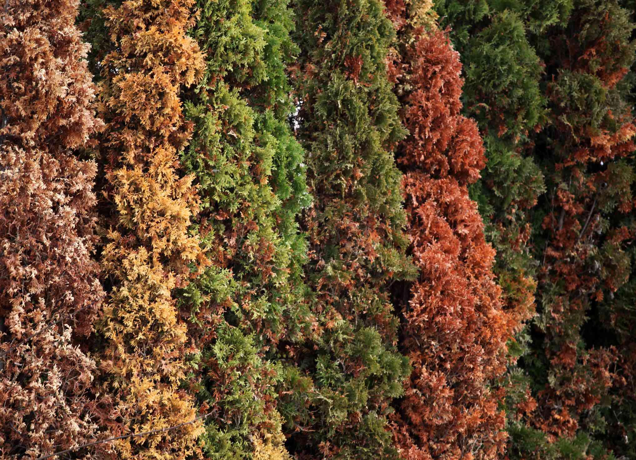 Blight fungal disease turning Thuja trees brown.