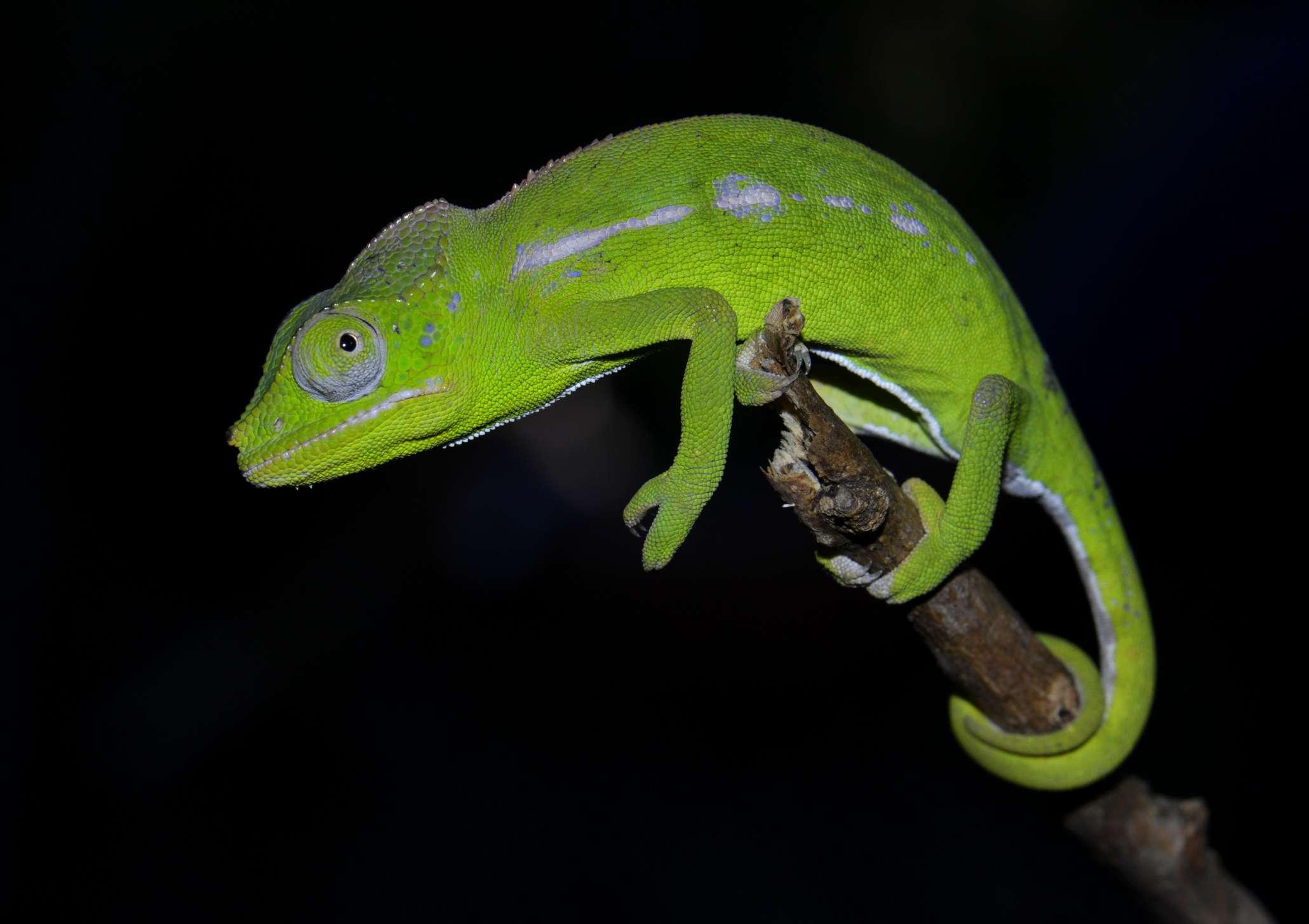 Belalanda Chameleon