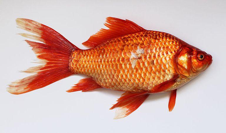 Los peces dorados son capaces de producir su propio alcohol