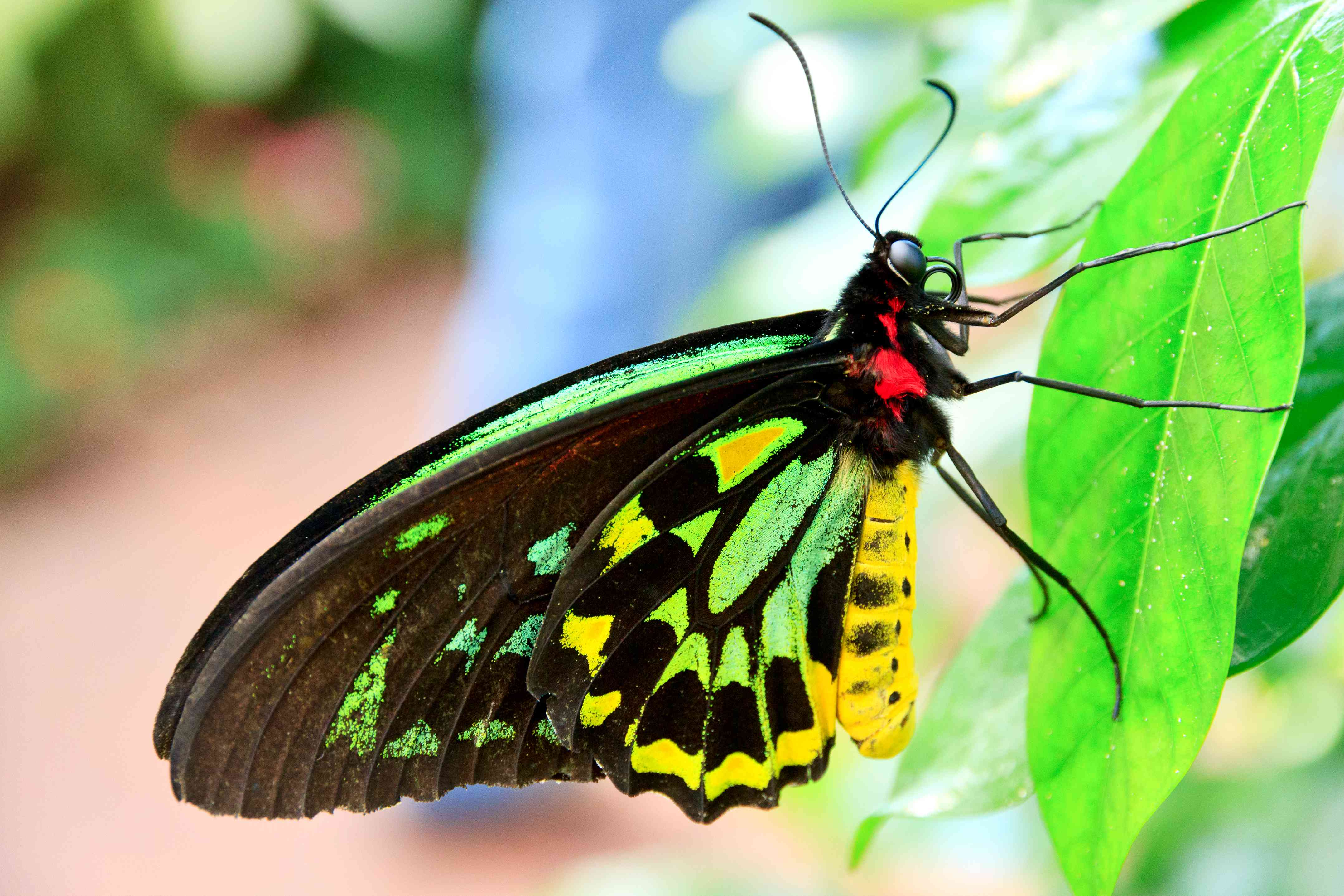 a colorful Queen Alexandra's birdwing butterfly resting on a leaf