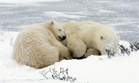 Polar bears cuddle while they sleep