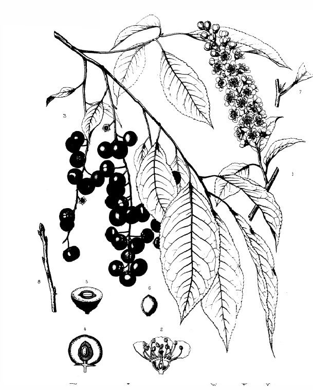 Black Cherry, Prunus serotina