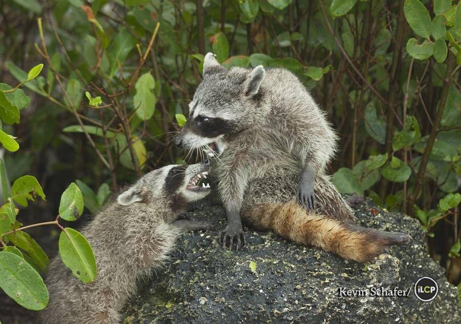 2 pygmy raccoons play