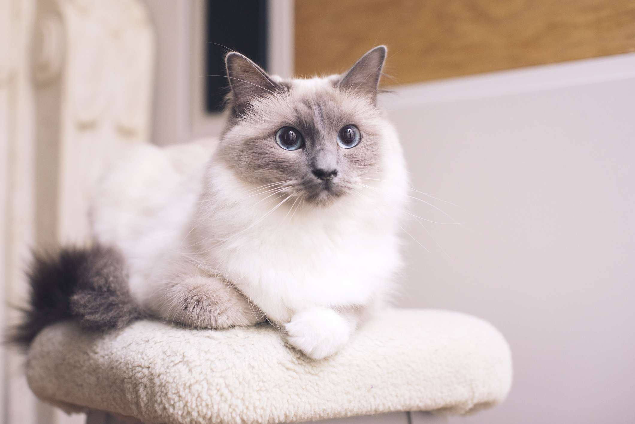 fluffy gray and white ragdoll cat sitting on a pedestal