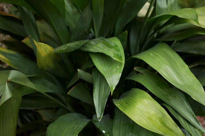 Long, thin, paper-like greenish leaves cascade over one another