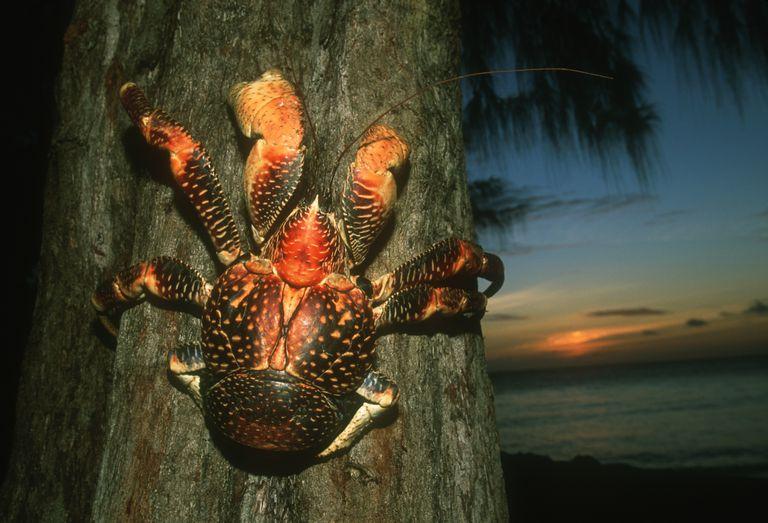 A coconut crab (Birgus latro) on a tree