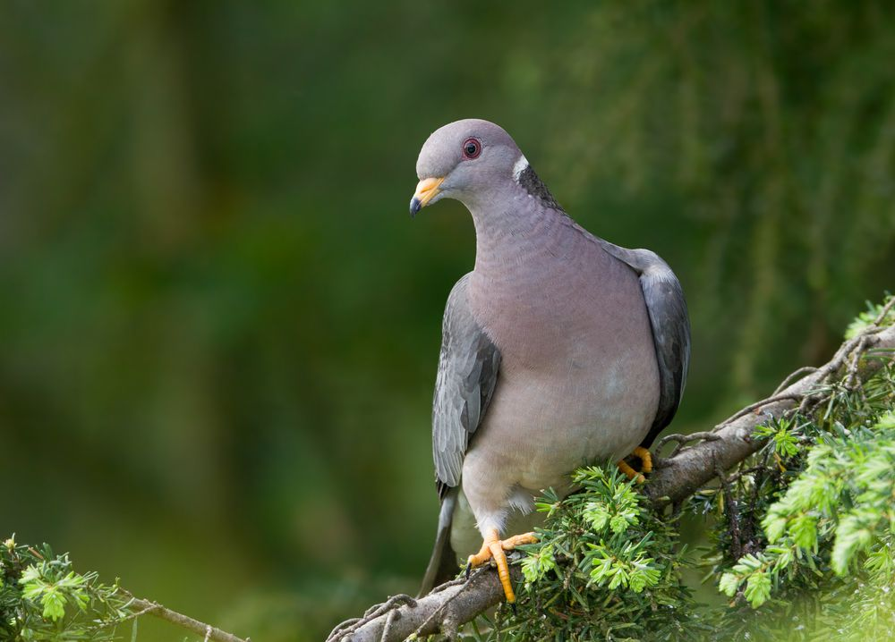 band-tailed pigeon in a tree