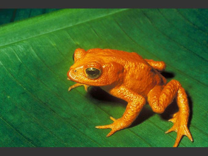 A golden toad sitting on a green leaf.