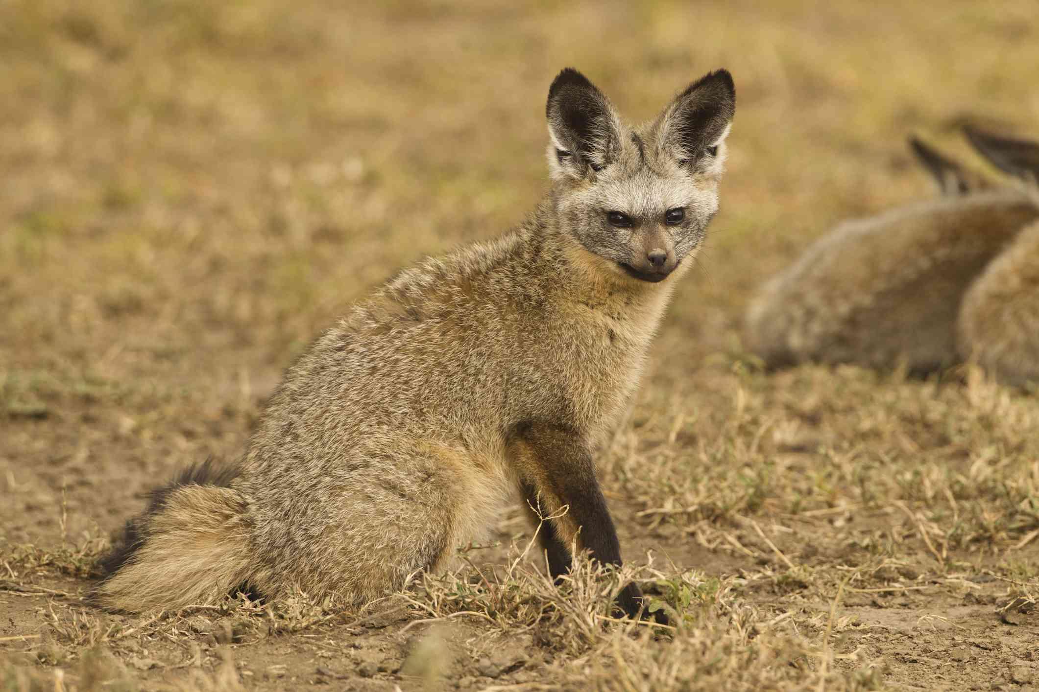 Bat-eared Fox in the Serengeti