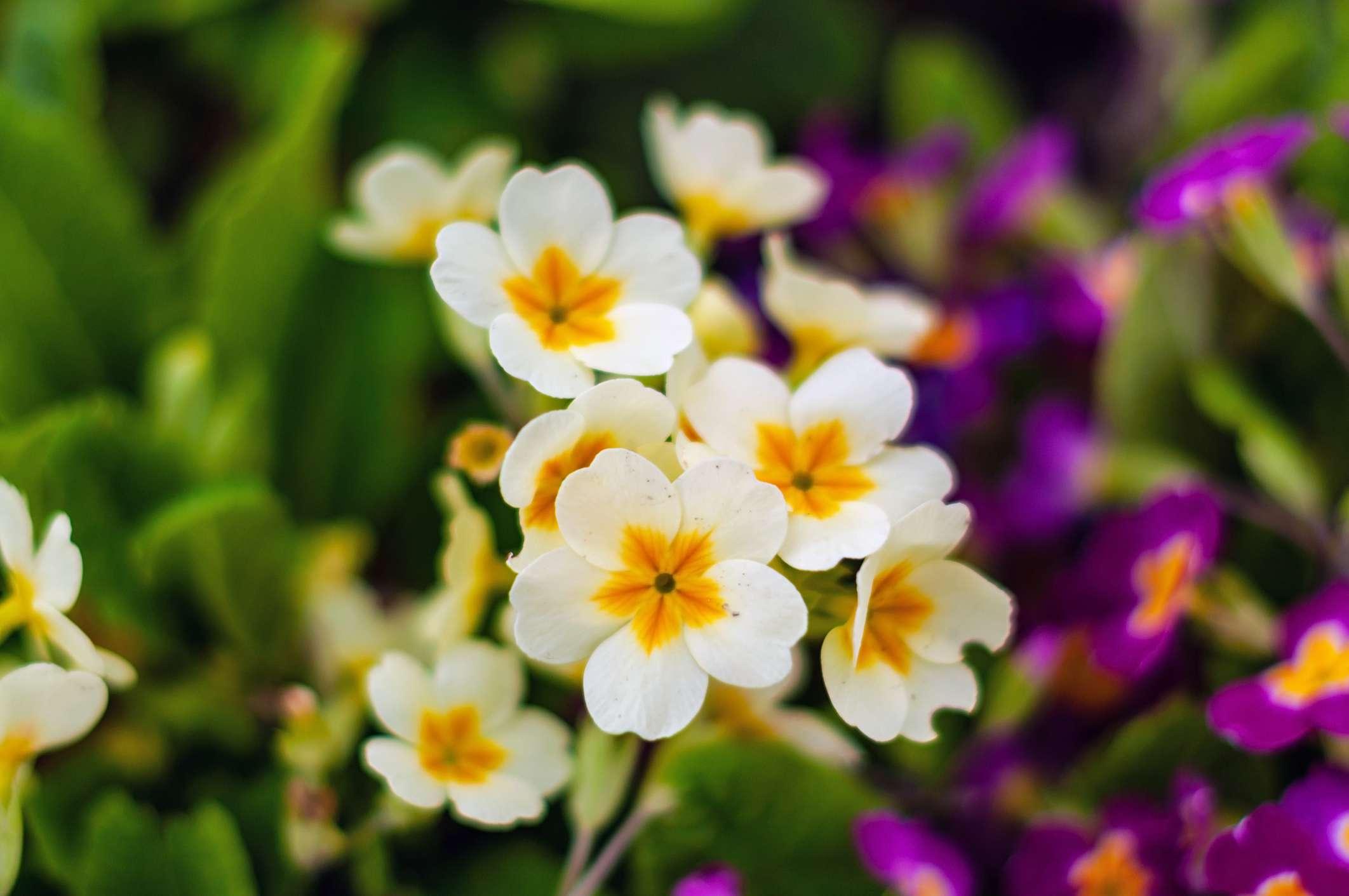 White primrose growing next to purple flowers