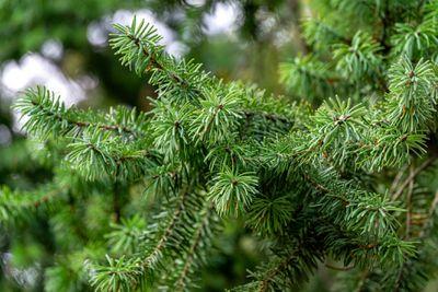 Close-up of green needles on a Douglas fir branch.
