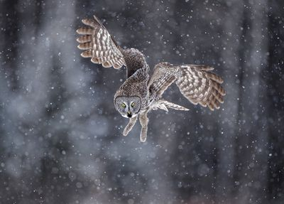 A great gray owl looks toward the ground while flying through snow in a forest