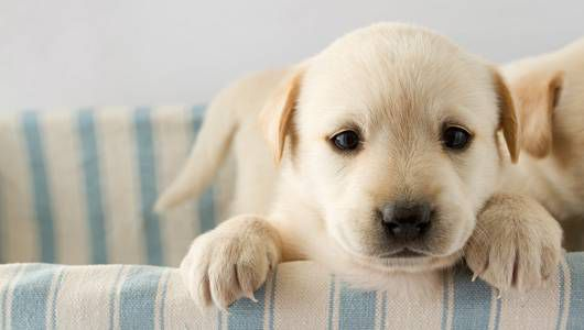 labrador puppy looks out of a basket