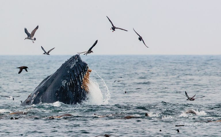 A humpback reaching out of the water