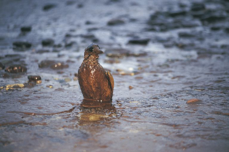A bird covered in oil standing in water.