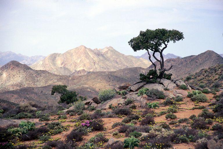 A desert scene in the flower season at The Richtersveld.