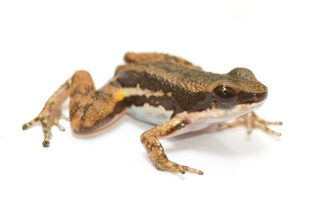 A common rocket frog (Colostethus panamensis) against a white background