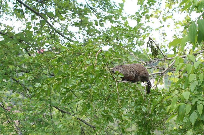 groundhog walking along branches in a tree