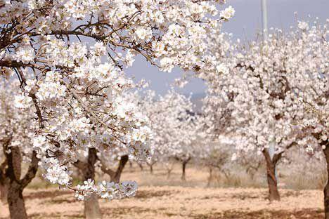 almond orchard photo