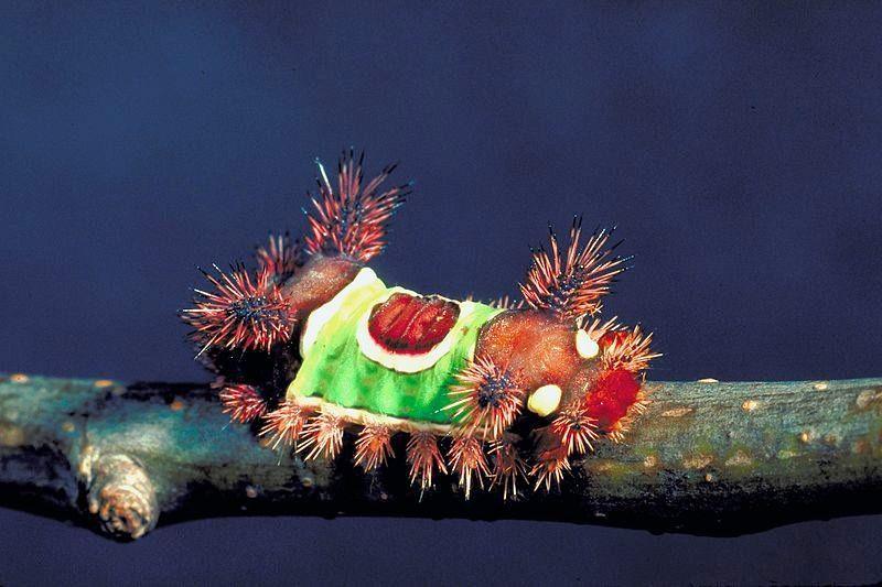 Fuzzy Saddleback Caterpillar on branch