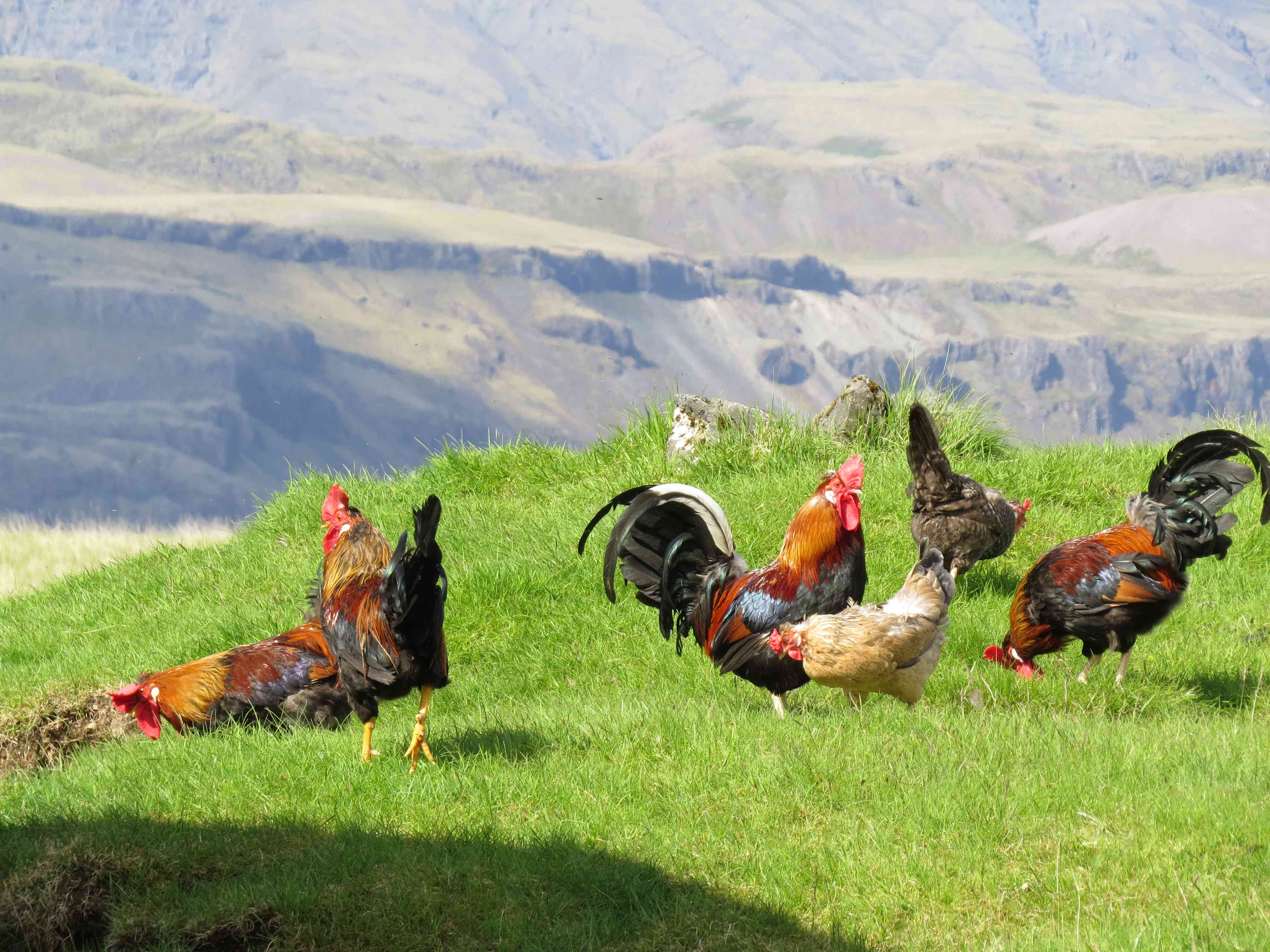 Roosters and chickens in the green grass of the mountains
