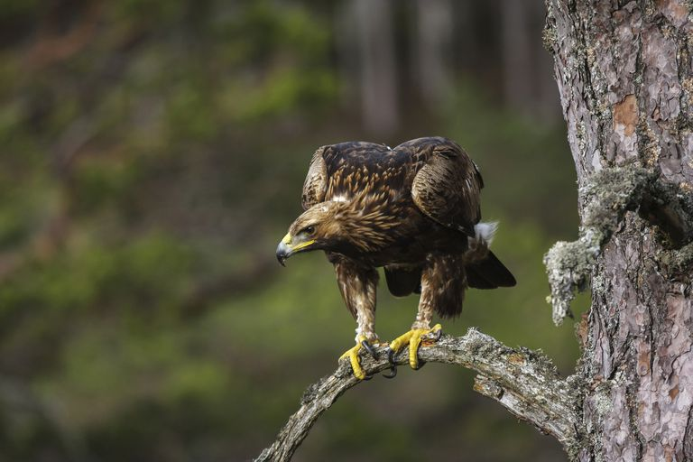 A young golden eagle (Aquila chrysaetos) perched on a pine branch stalking potential prey.