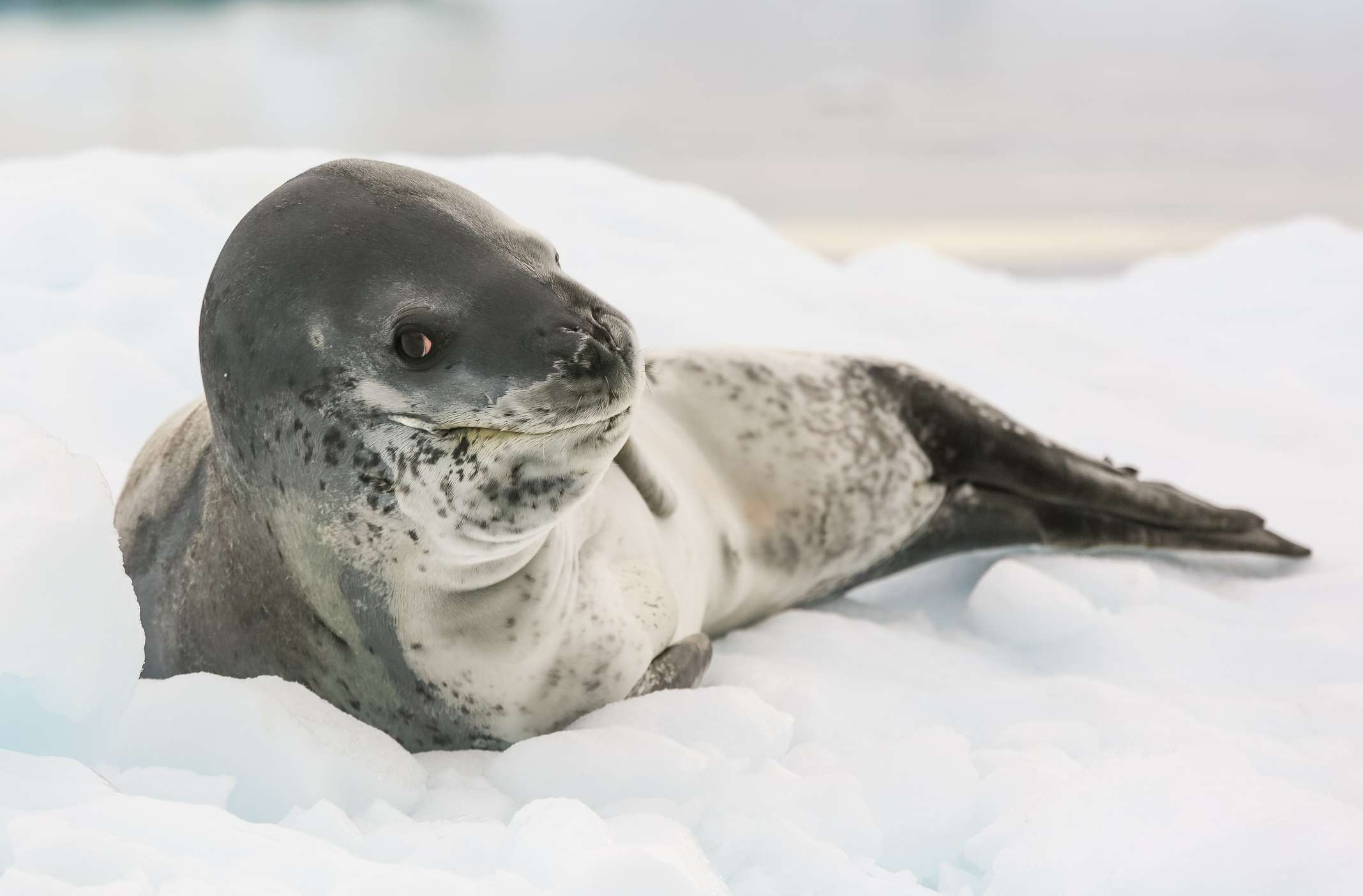 Leopard seal lying on ice with water in background.