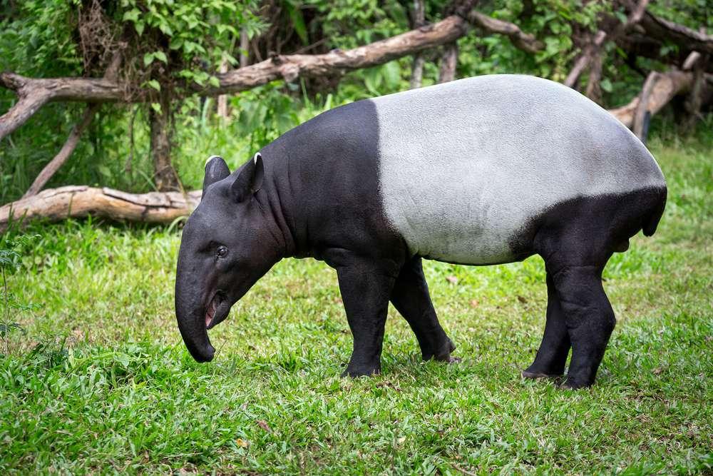 Tapir foraging in grass
