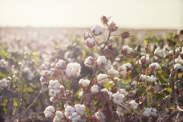 Cotton field in early morning light