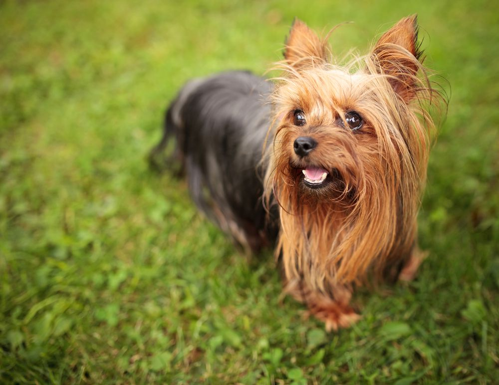 brown and black Yorkshire terrier standing on grass
