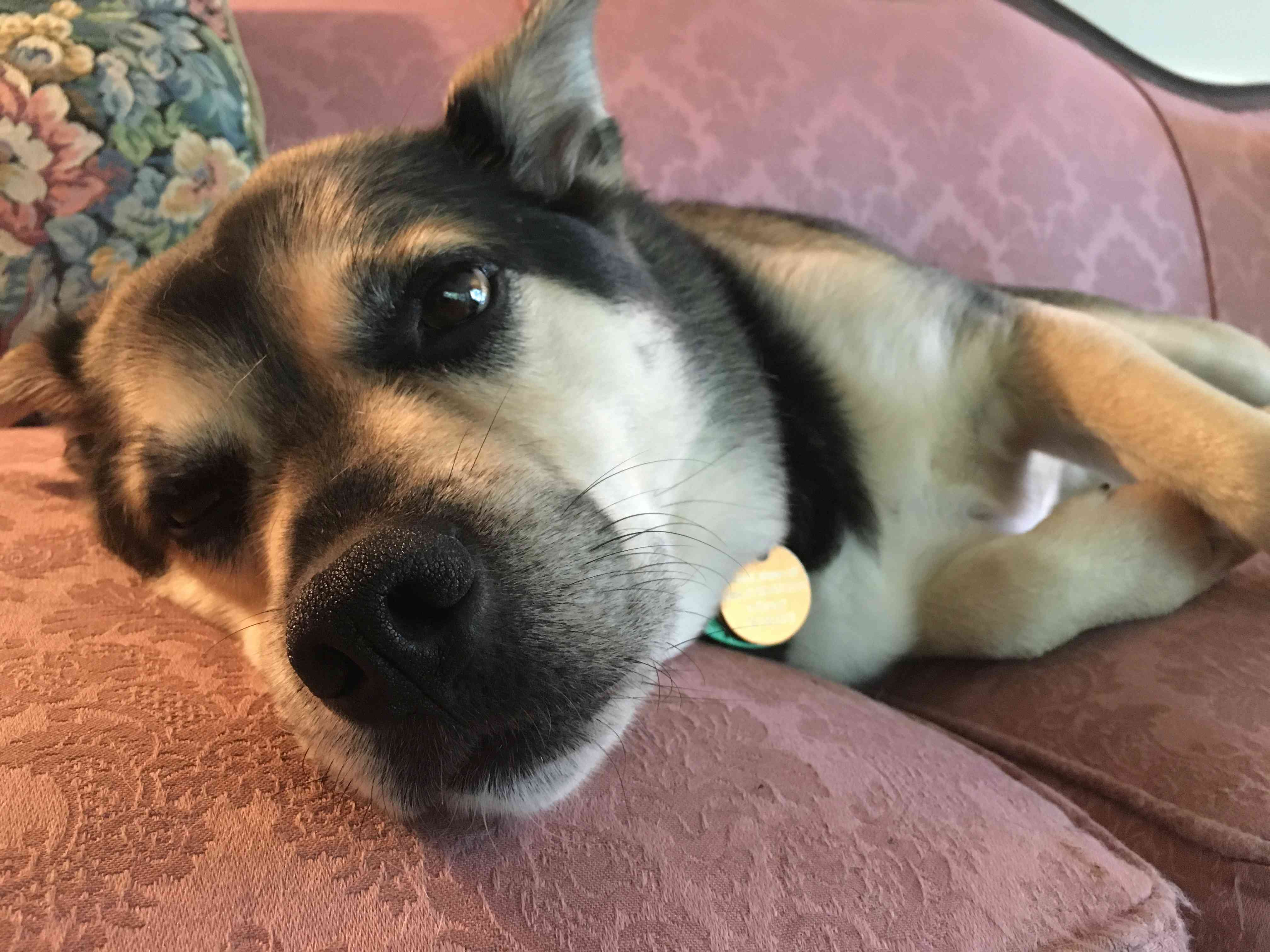 Otis, a mixed-breed rescue dog, resting on a couch