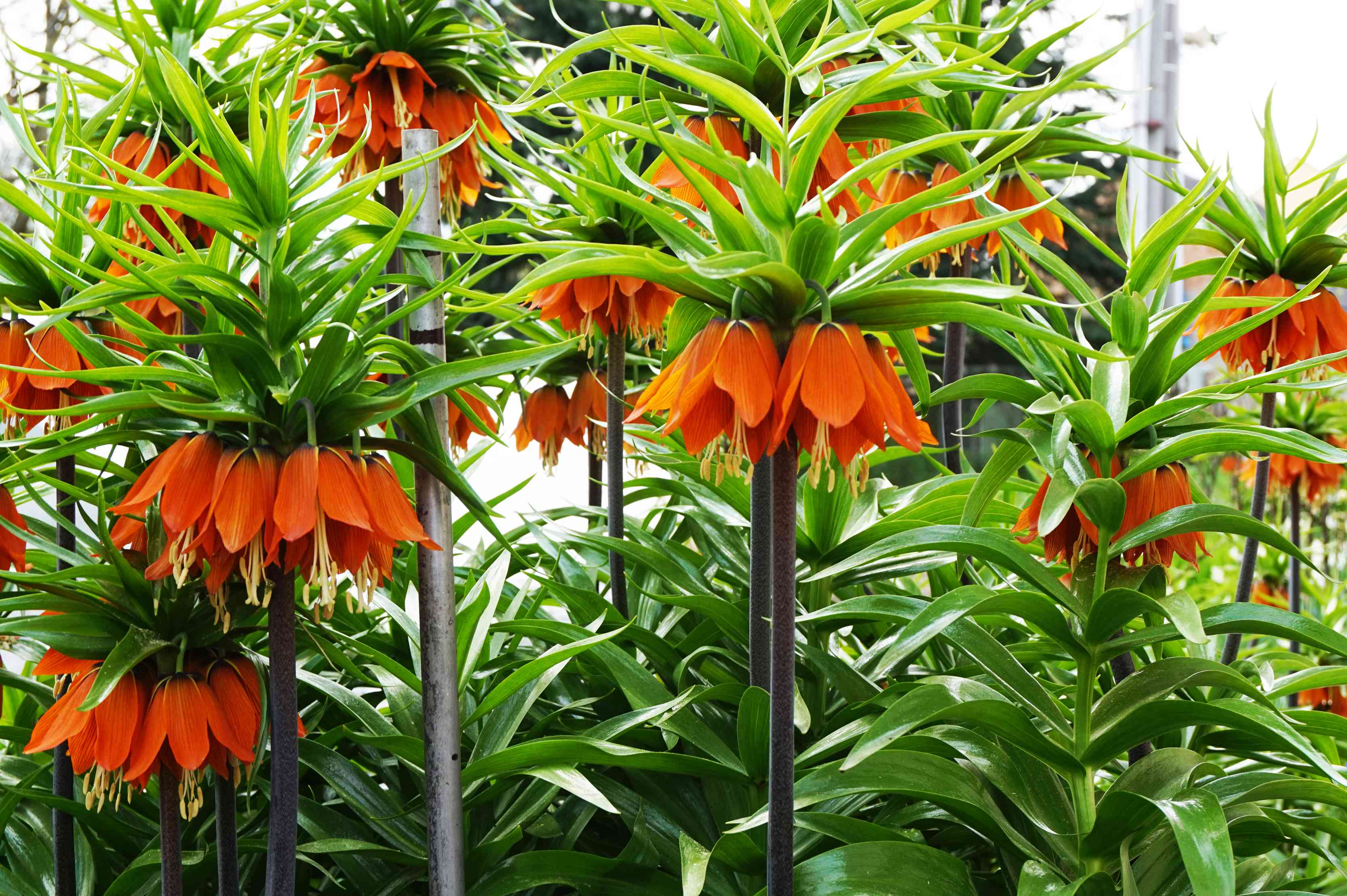 Fritillaria imperialis plants with red, downward-facing flowers