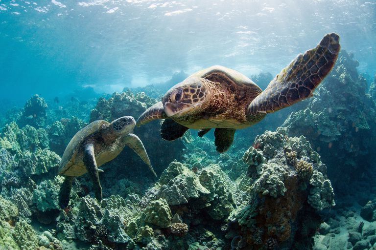 sea turtles swimming underwater