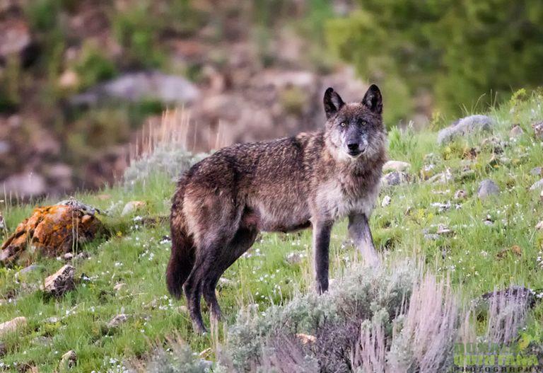 Foto: El lobo de Yellowstone es una belleza seria