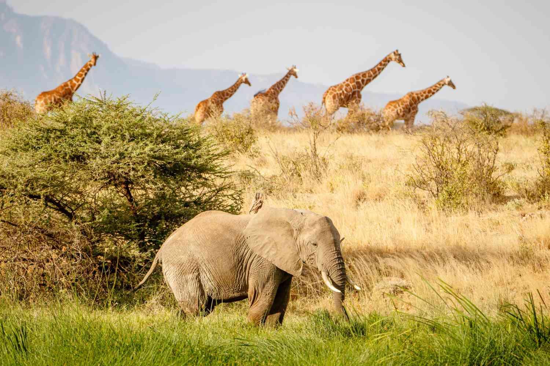 An elephant and giraffes on the savana