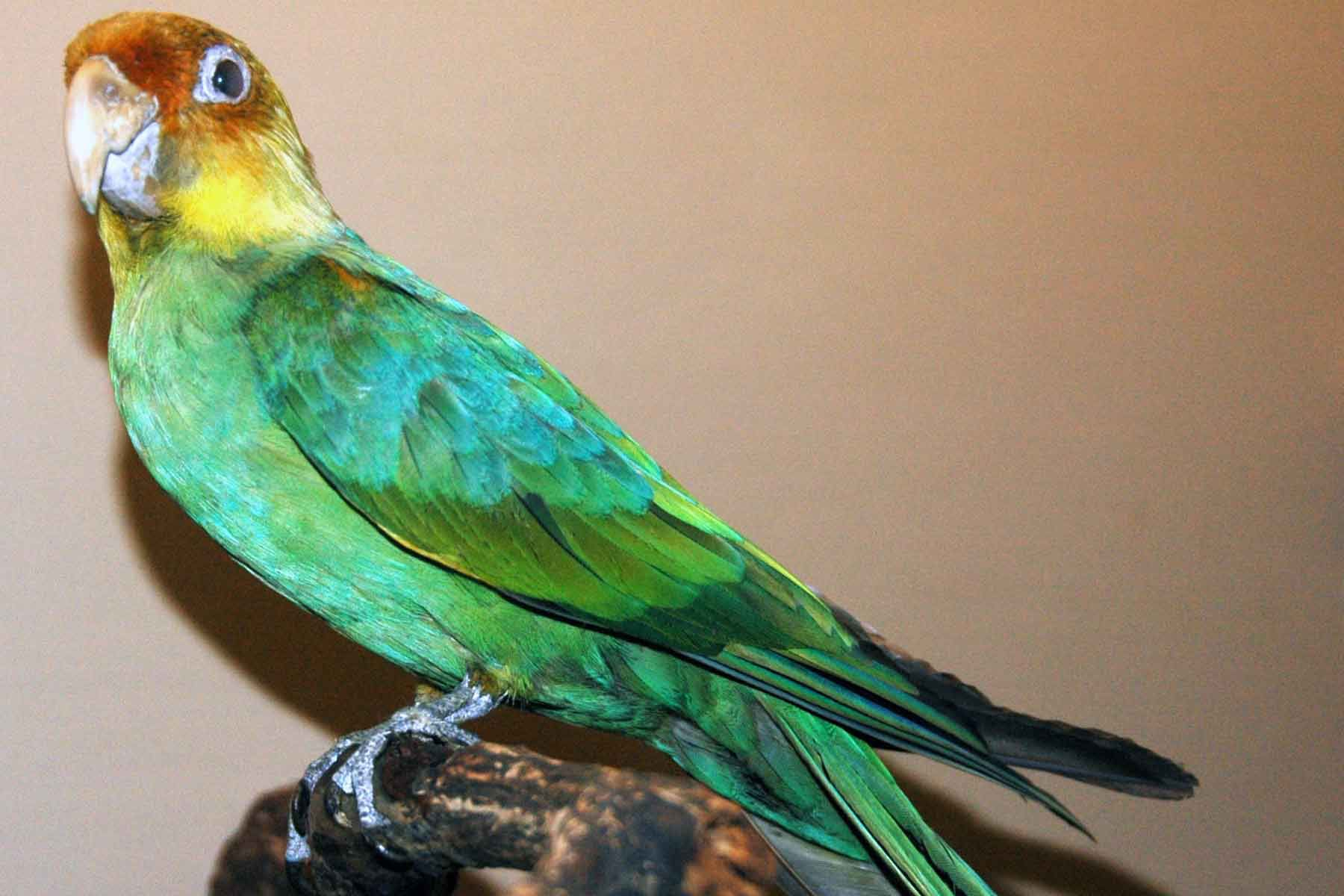 Carolina Parakeet specimen with green feathers, an orange head, and a yellow neck at Field Museum of Natural History, Chicago, Illinois