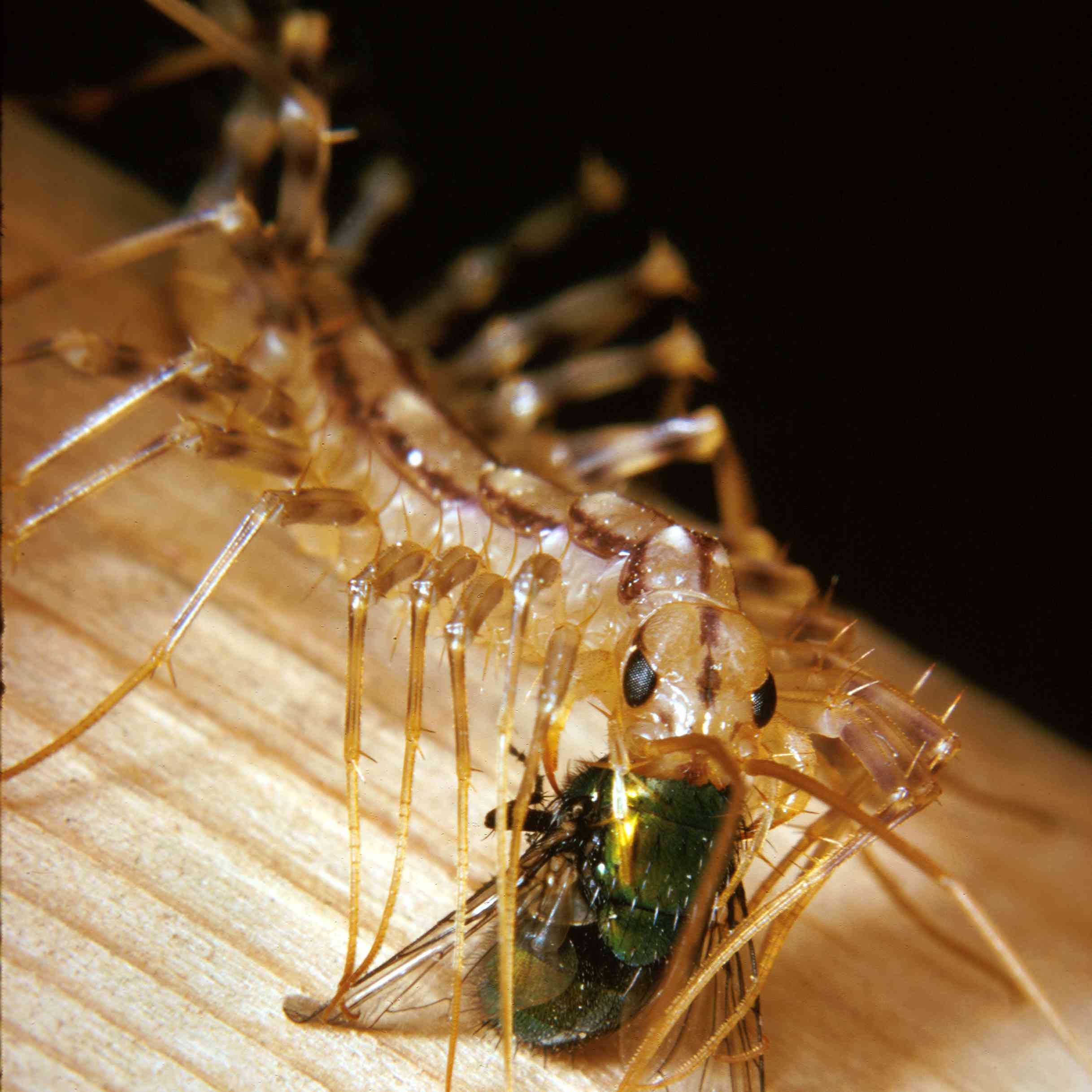 house centipede eating a fly