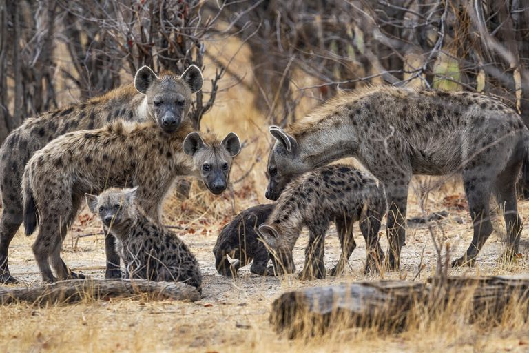 Pack of Spotted Hyenas (Crocuta crocuta) in Okavango, Botswana, Africa
