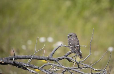 brown and gray pygmy owl sits on large branch