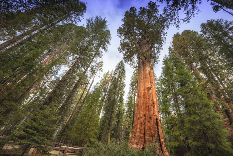 The General Sherman Tree stands high in the Sequoia grove in Sequoia National Park. It took a wide angle lens to capture this giant. Standing 275 feet tall and 36 feet in diameter,