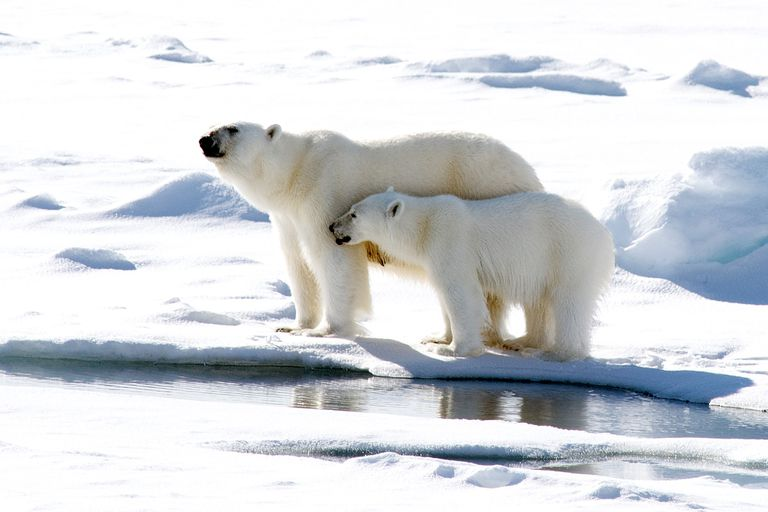 Two polar bears standing in the snow next to water