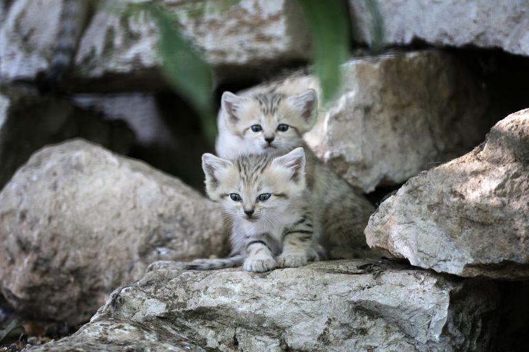 Sand kittens on rocks in a zoo.