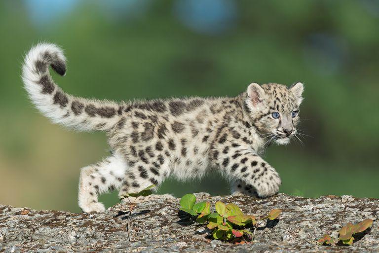 A snow leopard kitten crawling on a tree.