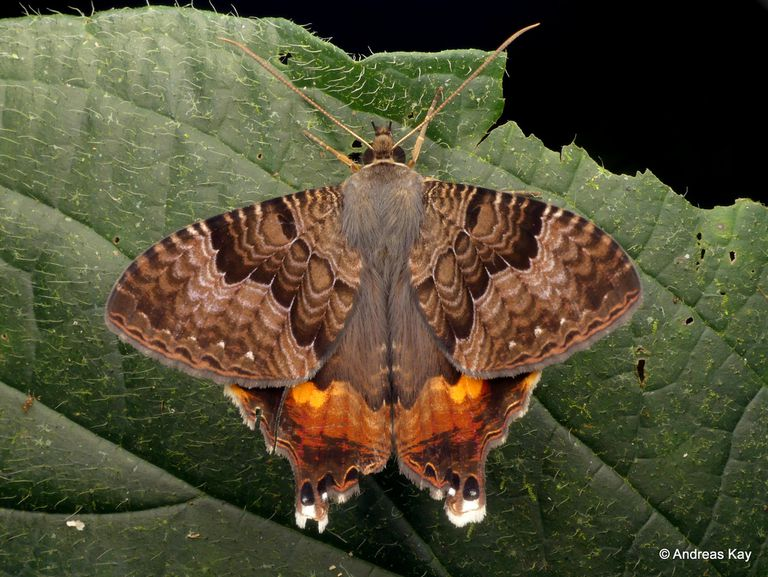 The swallowtail moth resting on a leaf